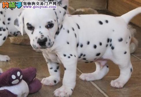 忠实聪明品质保证斑点狗两三个月的小狗;九