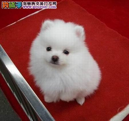 品质第一博美犬两三个月的小狗 纯度第一博