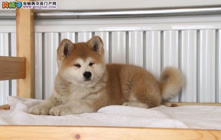 CKU认证秋田犬狗舍<出售秋田犬什么价格