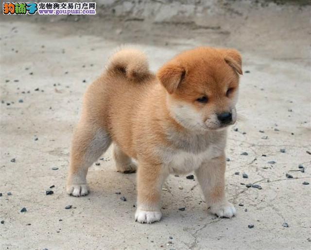 赣州市品质保证柴犬出售价格,赣州市精品柴