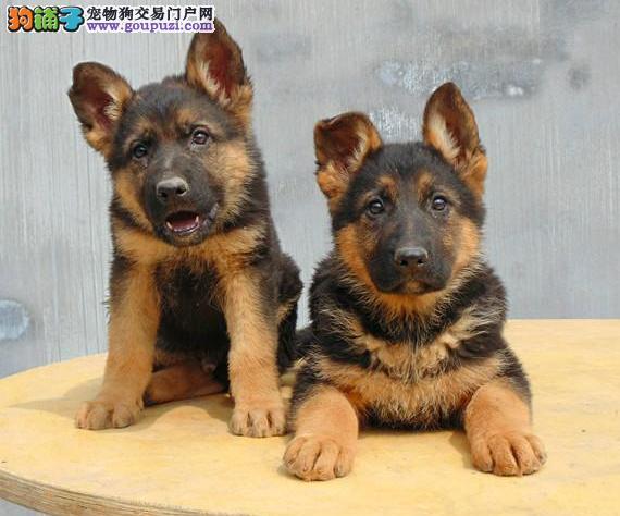 AKC认证狼狗多少钱 极品狼狗幼犬