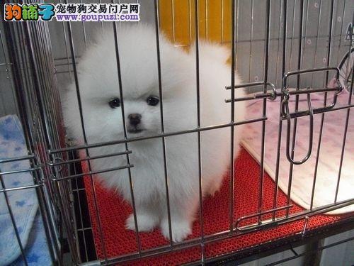CKU认证血统博美犬幼崽;南昌市博美犬狗舍