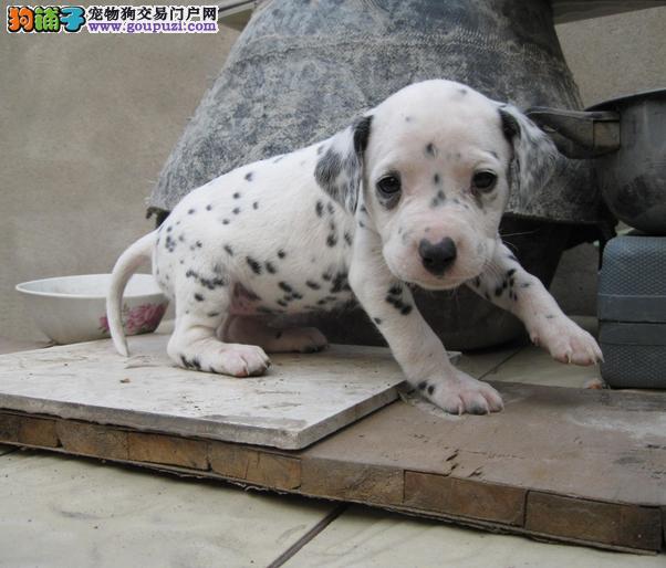 多种颜色多种颜色斑点狗小犬/九江市斑点狗