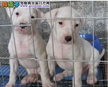 纯种健康杜高犬哪里有卖 赣州市精品杜高犬