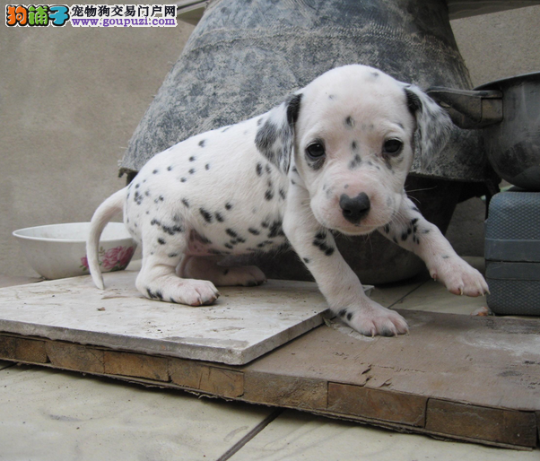 健康斑点狗什么价格>赣州市品质保证斑点狗