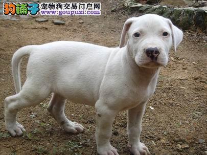 南昌市极品杜高犬繁殖场 品质保证杜高犬什