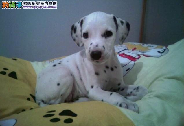 宜春市品质第一斑点狗幼犬;宜春市赛级斑点