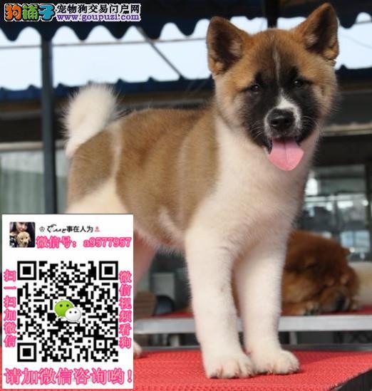 郑州柴犬:郑州优莱犬舍 柴犬出售两只弟弟可上门看狗
