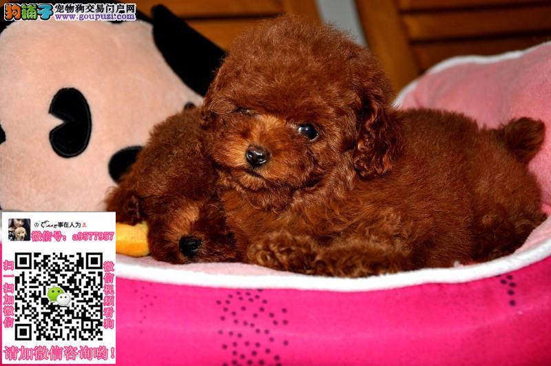 郑州泰迪犬多少钱一只_纯种泰迪犬幼犬专卖