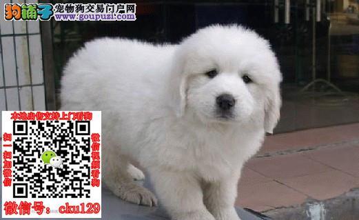 湖南长沙大白熊犬价格多少钱_买卖出售领养转让