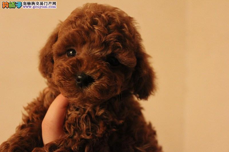 密云县纯种泰迪犬两三个月的小狗·纯度第一