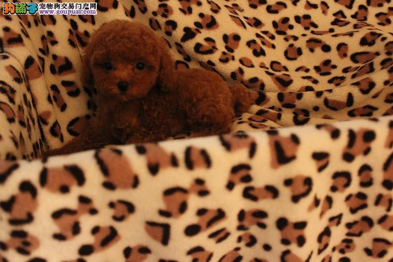 品质保证泰迪犬犬舍繁殖丶延庆县极品泰迪犬