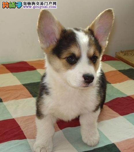 石景山区多种颜色柯基犬幼犬,石景山区出售