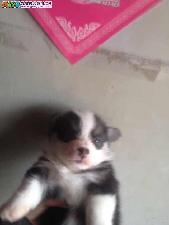 CKU认证柯基犬两三个月的小狗_海淀区纯种高