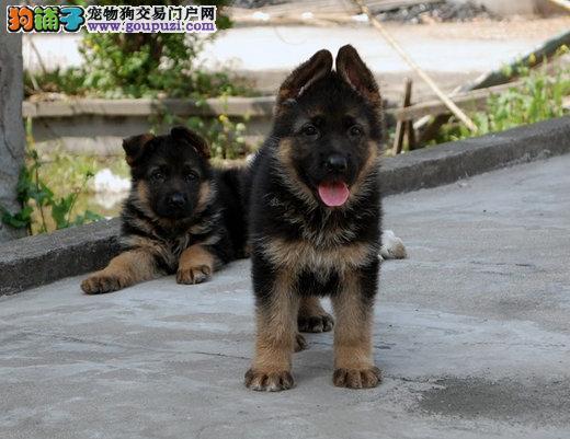 纯种AKC认证德国牧羊犬宠物店 延庆县德国