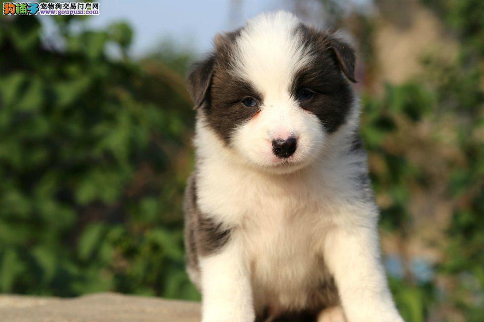 纯度第一品质保证边境牧羊犬出售价格·静海