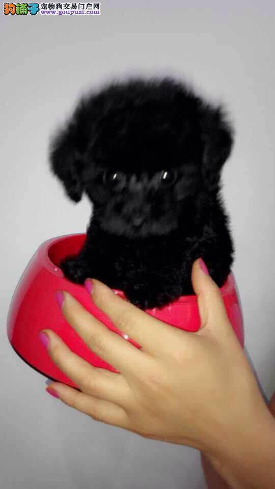 纯种健康茶杯犬宠物店丶宝坻区常年直销茶杯