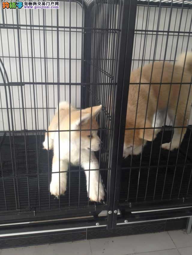 常年直销秋田犬两三个月的小狗/蓟县纯度第