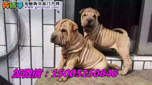 纯种沙皮幼犬可爱 温顺憨厚公母均有