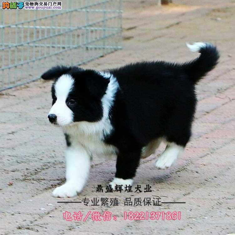 出售纯种边牧幼犬 边境牧羊犬 可送货上门挑选狗
