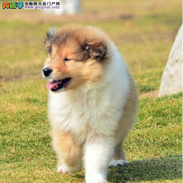 狗场出售三色黄白刁色苏牧幼犬来场子可看到狗父母
