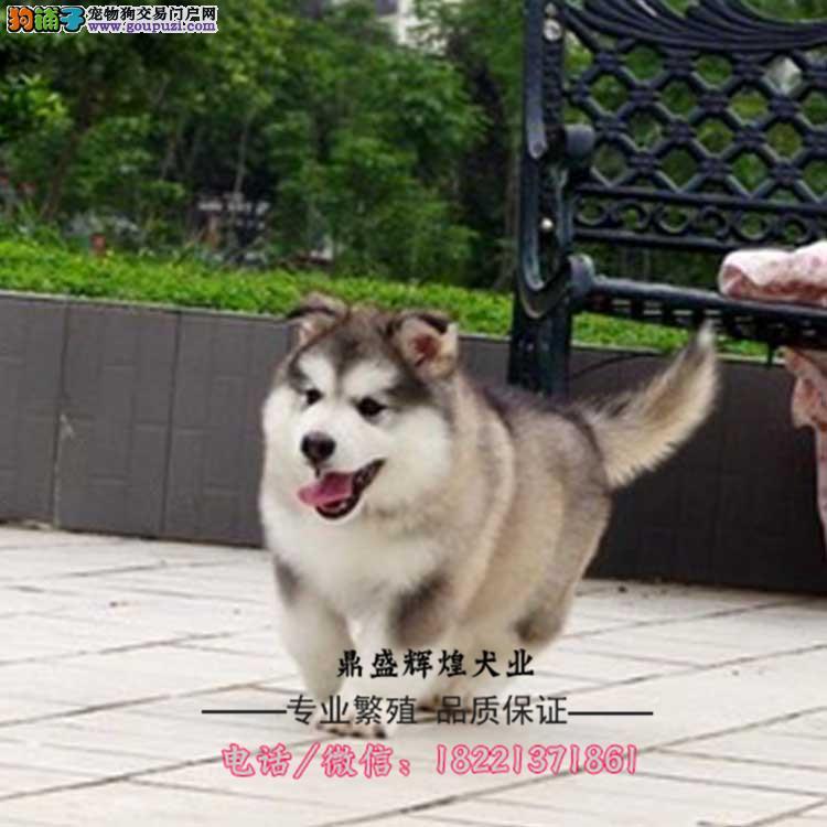 宠物狗巨型熊版阿拉斯加雪橇犬幼犬黑灰色桃脸 宠物