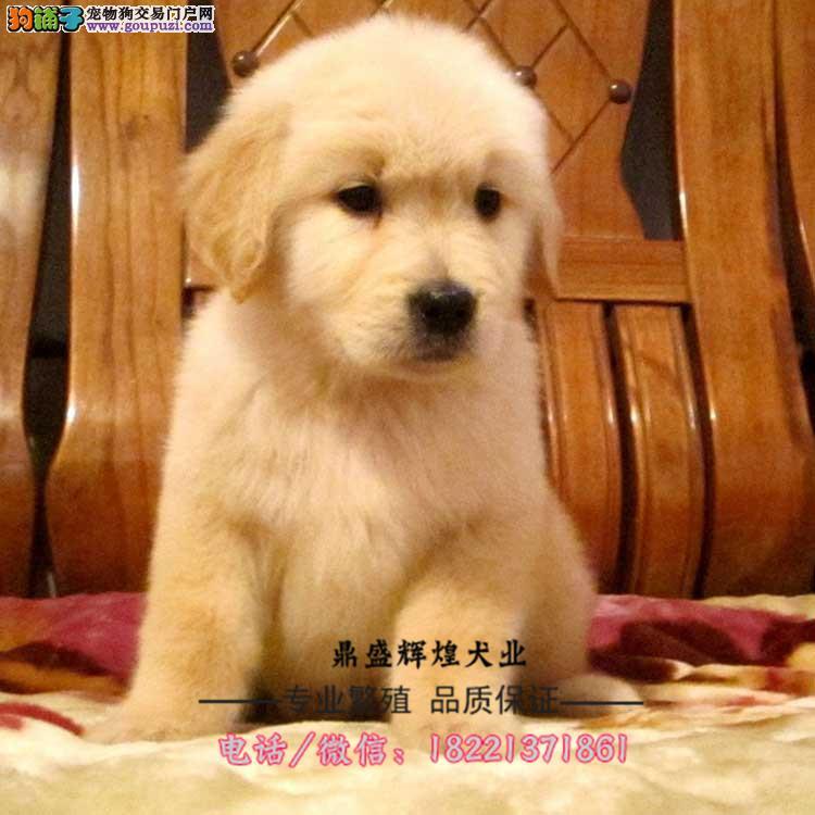 出售美系大头宽嘴纯血统枫叶系金毛幼犬终身售后