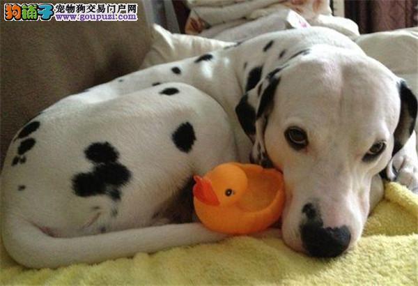 中国正规狗场繁殖斑点狗 签订购犬合同 品质健康有保障
