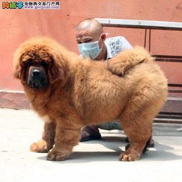 只售精品狮头藏獒犬幼犬出售 包金黑獒 宠物狗狗