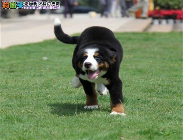出售纯种伯恩山犬各种颜色纯种健康疫苗齐全 欢迎咨询