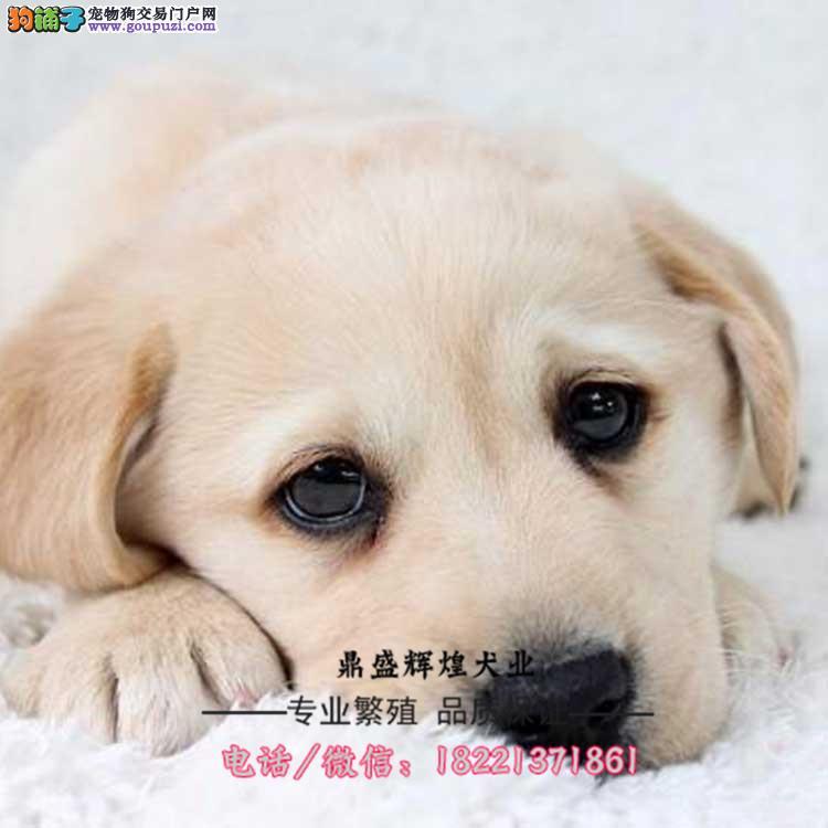 大骨量拉布拉多幼犬 品质极佳 签联盟合同健康保终身