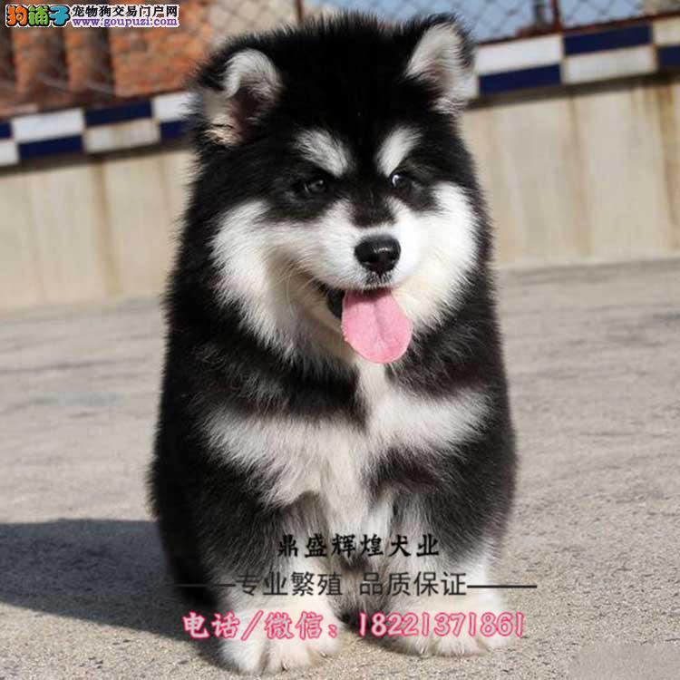犬舍出售阿拉斯加雪橇犬纯种健康有证书可以签订协议