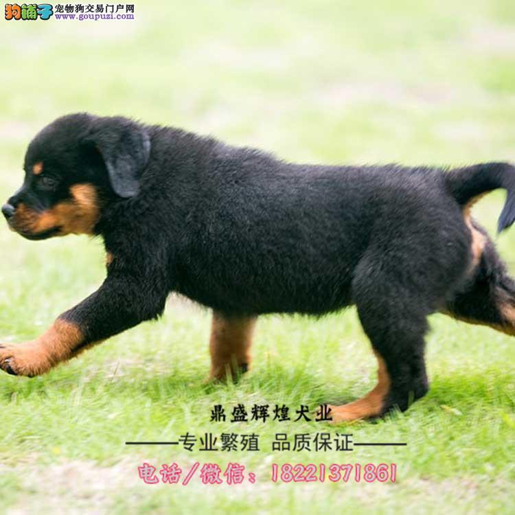 纯正罗威纳幼犬憨厚忠诚体格健壮专业标准已打过疫苗