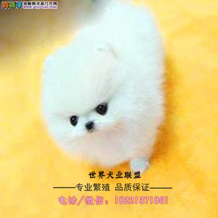 超小体博美幼犬可送货到家挑选 哈多利球体 品相好