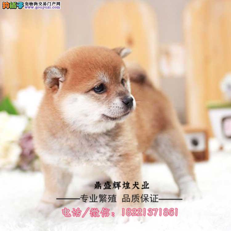 日本系纯种柴犬幼犬出售 忠犬八公纯种提供日本