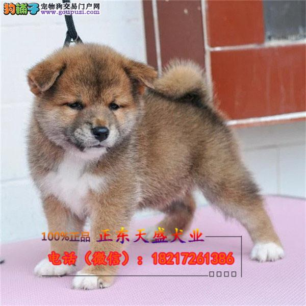 家养赛级日本柴犬幼犬纯种柴犬 八公犬日系秋田货到