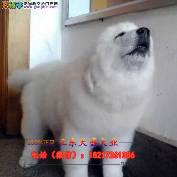 出售赛级纯种大白熊犬巨型宠物狗狗活体幼犬大型犬长毛