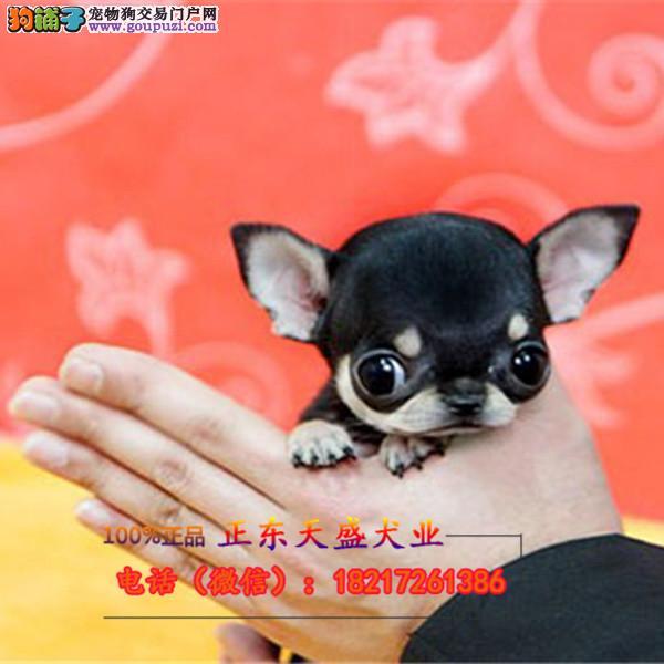 精品袖珍犬苹果头金鱼眼纯种超小吉娃娃 成犬3斤
