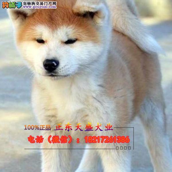 犬舍出售精品秋田犬赛级犬证书齐全可以签订协议