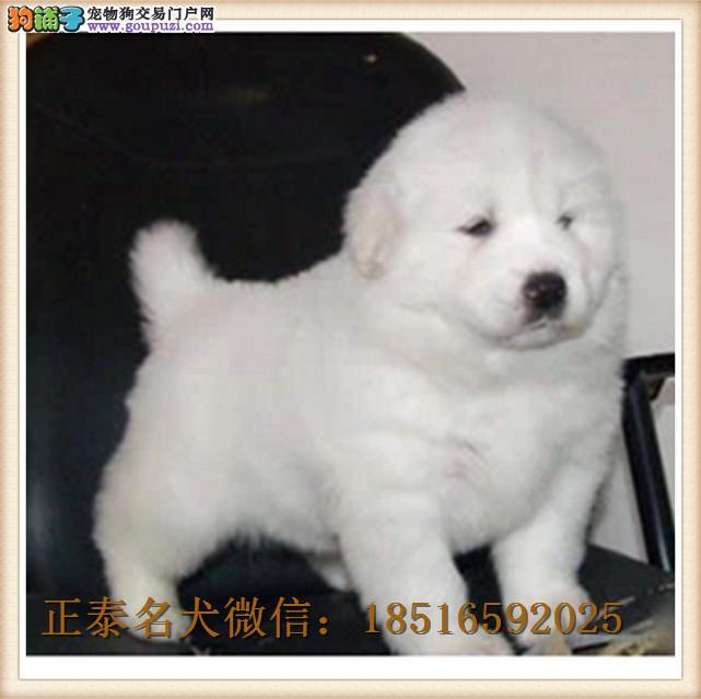 大白熊犬宠物狗 大白熊狗纯种 纯赛级双血统幼犬巨型
