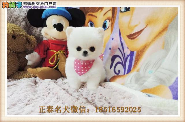 哈多利球体纯种博美犬待售中 上海可送货上门挑选