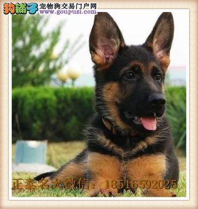 出售纯种狼狗 可送货上门挑选狗