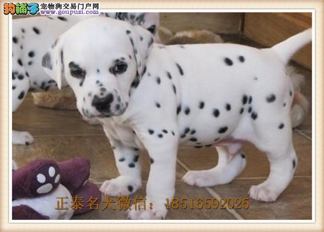 犬舍赛级斑点狗纯种幼犬带血统证书宠物狗小型