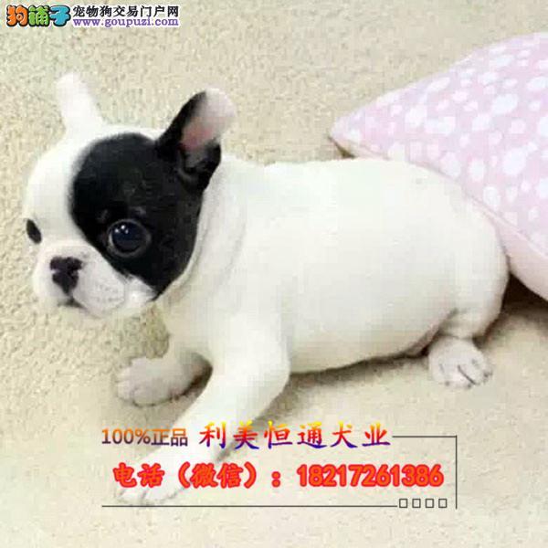 斗牛犬幼犬 可爱健康 多年信誉保证老虎狗