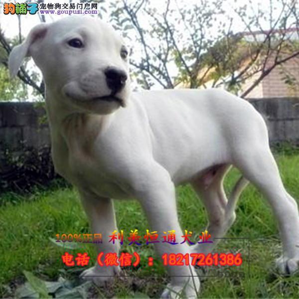 专业繁殖猛犬猎犬基地 绝对打猎高手签协议