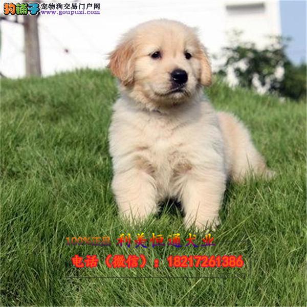 上海最大的金毛导盲犬养殖基地赛级金毛犬服务