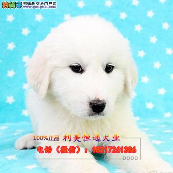 纯种大白熊幼犬宝宝 纯种大白熊护卫 可上门挑选