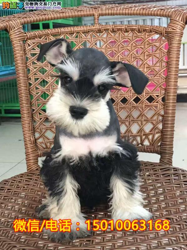 纯血统黑银色椒盐色雪纳瑞幼犬 可免费送货到家挑选