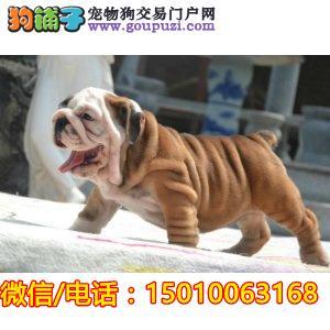 中国高端英国斗牛犬繁育专家出售顶级英牛犬|英斗幼犬