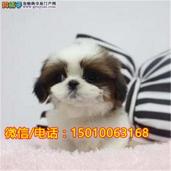 宠物狗狗纯种幼犬西施犬出售疫苗齐全健康保障可上门选